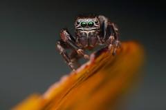 IMG_8606 (komusinmarek) Tags: evarcha arcuata jumpingspider jumping spider arachnidae salticidae skakun greeneyes pyrgun yellow green little cute sweet macro