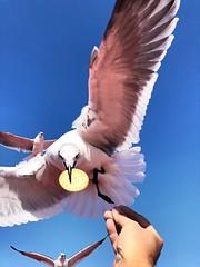 Cracker iPhone 8 (ericanderson7) Tags: gull