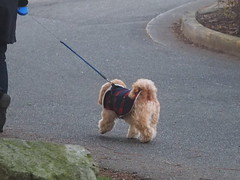 Let's Go for a Walk ... (Irene, W. Van. BC) Tags: letsgoforawalk walkway walkers walking seawalk roads street streetscenes park parkscenes dogs dog alldogs smallanimals smalldogs cuteanimals cutedogs leash outdoors outdoorscenes mantle dogblanket 1001nights 1001nightsmagiccity 1001nightsmagicpeacock