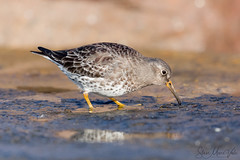 Purple Sandpiper (Steve Moore-Vale) Tags: purple sandpiper purplesandpiper waders wader shorebird suffolk lowestoft feeding ground bird uk wildlife nature animal wet seawall wading low bokeh puddle reflection