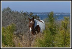 TB7_4879 pony coming down path with frame (tbullipoo) Tags: assateague pony