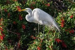 """Berry"" nice bird (ChicagoBob46) Tags: greategret egret bird veniceareaaudubonrookery florida nature wildlife naturethroughthelens coth5"