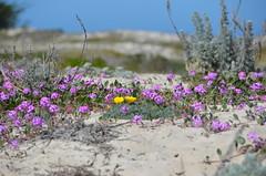 Bloom in the sand (afagen) Tags: california pacificgrove montereypeninsula asilomar beach asilomarstatemarinereserve flower