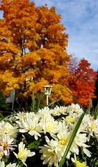 Bunter Herbst (3) (Frau Fanta5) Tags: herbst laub blätter bunt natur blumen blüten autumn nature leaf flower colour
