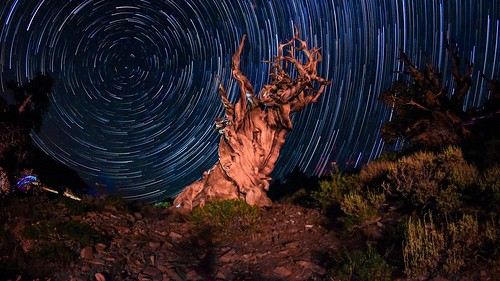 Star Trails in the Ancient Bristlecone Pine Forest