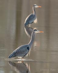 ND5_9036 Wading Herons (Wayne Duke 76) Tags: wading greatblueheron