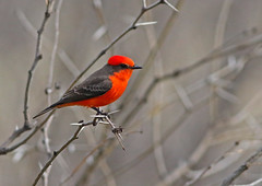 Vermilion Flycatcher (1krispy1) Tags: flycatcher vermilionflycatcher texasbirds