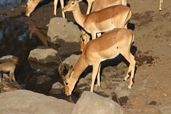 Getting a Drink (Rckr88) Tags: krugernationalpark southafrica kruger national park south africa getting drink gettingadrink animals animal impala antelope water lake lakes dams dam nature naturalworld outdoors travel wildlife