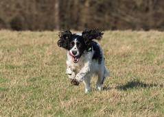 Ricky (TenPinPhil) Tags: philipharris tenpinphil springerspaniel springer dog canine canon 7dmark2 100400l 2019