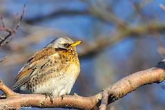 Fieldfare · (Turdus pilaris) - Kwiczoł (tomaszberlin) Tags: polska ngc bw ng nikon poland animal bird wildlife nature gdynia winter snow bokeh d90 birdwatching
