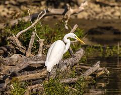 Great White Egret (will139) Tags: greategret bird ardeaalba ardeidae avian ornithology eaglecreekpark fishing lunch lunchtime greatwhiteegret