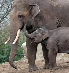 asiatic elephant Nicolai en  sanuk artis 094A0353 (j.a.kok) Tags: olifant asiaticelephant aziatischeolifant animal artis asia ape elephant mammal zoogdier dier nicolai sanuk