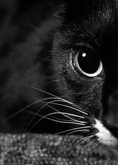 (ashley.frantz) Tags: eyes cat cats cateye blackandwhite blackcat blackandwhitecat tuxedocat nose whisker whiskers curious curiosity kitty kittycat