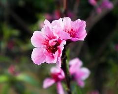 Nectarine Blossom (Natenstine) Tags: nature closup flower pink nectarine blossom outdoor plant depthoffield