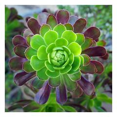 Aeonium Arboretum 'Velour' (2080cronos1) Tags: aeonium botany botanical purple green succulent cactus garden nature flower flowers velour arboretum