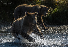 Showing off for mama (♞Jenny♞) Tags: specanimal grizzly cub jennygrimm battleriveralaska2018 alaska river fishing salmon