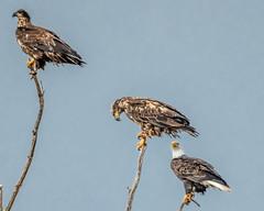 3 eagles 1 tree - Explore (Marvin Bredel) Tags: eagle baldeagle oklahoma greatsaltplainslake marvinbredel