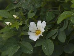 White rose. (kyliepics) Tags: olympus e520 evolt520 olympuszuikodigital70300mmf4056 darktable