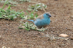 Blue Waxbill (Roy Lowry) Tags: bluewaxbill ubizane uraeginthusangolensis