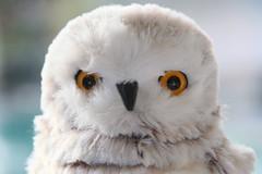 snowy owl (HansHolt) Tags: owl snowowl snowy bird decoration christmas eyes bokeh macro canon 6d 100mm canoneos6d canonef100mmf28macrousm