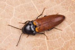 Ampedus pomorum (NakaRB) Tags: 2017 insecta coleoptera elateridae ampeduspomorum