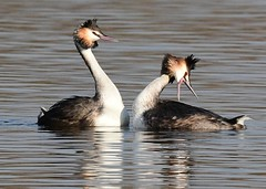Great Crested Grebe (gillybooze (David)) Tags: ©allrightsreserved bird greatcrestedgrebe birdwatcher grebe water reflections dof wildlife outdoor lake wild bokeh ripples outside feathers