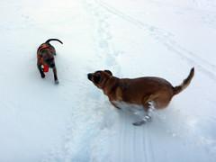 Snow dogs (simonov) Tags: bella dog hund chien 狗 σκύλοσ madra cane 犬 perro 개 سگ собака الكلب germansheprador pitbull skytavern reno mountains snow winter christmas