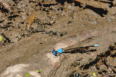 2017  Blue-fronted Dancer (Argia apicalis) 2 (DrLensCap) Tags: 2017 bluefronted dancer argia apicalis labagh woods chicago illinois weber spur trail abandoned union pacific railroad right way il bug insect damselfly damsel fly robert kramer