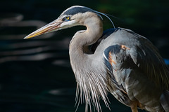 Blue Heron (Bob Worthington Photography) Tags: zoo122918 sandiegozoo canon7dmarkii canon70200f28lisii