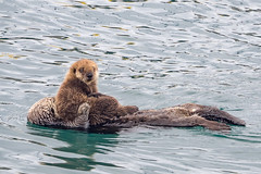 Watching the World Go By In Mom's Paws (pat1479) Tags: animals california location mammals morrobay seaotter unitedstates