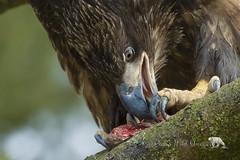 Wicked Talons (PamsWildImages) Tags: bird britishcolumbia baldeagle nature naturephotographer wildlife wildlifephotographer pamswildimages pammullins canada canon canonef100400mmlens