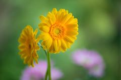 gerbera 8371 (junjiaoyama) Tags: japan flower plant gerbera yellow winter macro bokeh