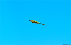 Blue-tailed Bee-Eater (Merops philippinus) (Steve Arena) Tags: bluetailedbeeeater meropsphilippinus beeeater khaodinsor chumphonprovince chumphon thailand thailandbirding2018 2018 migrating migrant migration fallmigration searbirds flight shot flying fly nikon d750