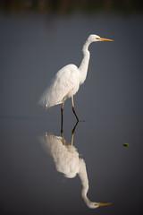 HoskoteBirding_Jan2019_D75_8496 (mgcs) Tags: birds indianbirds karnataka nikond750 nikkor200500 wild handheld