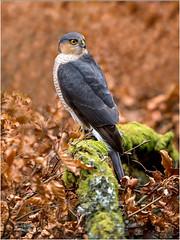 AUTUMN MALE SPARROWHAWK (d1ngy_skipper) Tags: scottishwildlife scotland sparrowhawk raptors birdsofprey britishwildlife britishbirds europeanwildlife
