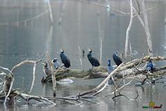 A-LUR_3166 (OrNeSsInA) Tags: taly passignano panicale natura panorami campagma campagna landescape trasimeno nikon canon airone airon cormorano spettacolo birdwatching albero cielo animale mare acqua uccello