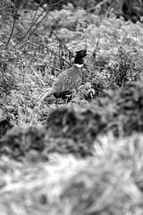 La friche du faisan (Amanda Hinault - 風流韻事) Tags: ccbysa photobyamandahinault creativecommons fuji xt1 fujixt1 noiretblanc blackandwhite nb noirblanc blackwhite bw monochrome animaux animals faune oiseau bird