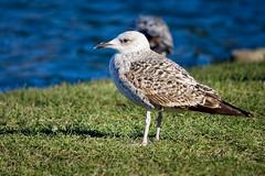 Fort vent pour prendre l'envol (thierrybalint) Tags: grass bird water bassin basin goéland gull nikon nikoniste balint thierrybalint parc borély marseille park