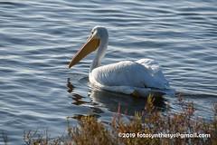 American White Pelican (Pelecanus erythrorhynchos), juveniile DSC_4457 (fotosynthesys) Tags: americanwhitepelican pelecanuserythrorhynchos pelican pelecanidae bird california unitedstates
