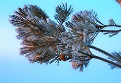hard frost / Мороз (VikTori_kvl23) Tags: nature beauty closeup macro bright russia plants природа растения флора frost