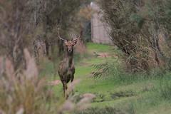 Daim (Puce d'eau) Tags: daim deer nature sauvage wildlife espagne canon eos 7d tamron 150600