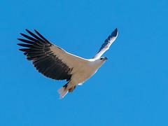 White-bellied Sea-eagle (Haliaeetus leucogaster) (David Cook Wildlife Photography) Tags: whitebelliedseaeagle haliaeetusleucogaster rockhampton queensland australia davidcookwildlifephotography kookr sonya99mkii sonyilca99m2 sonysal70400g2 ©2018davidcookwildlifephotographyallrightsreserved