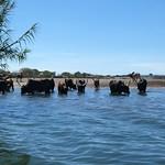 Bighorn cattle thumbnail