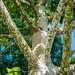 2018 - Mexico - Hacienda Sotuta de Peón - Ceiba Tree