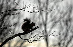 Early morning tree rat.... (Kevin Povenz Thanks for all the views and comments) Tags: 2018 november kevinpovenz westmichigan michigan ottawa ottawacounty ottawacountyparks outdoors outside nature wildlife squirrel silhouette blackandwhite bw canon7dmarkii sigma150500 tree woods forest early earlymorning trees