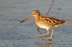 Common Snipe on ice (Ted Humphreys Nature) Tags: commonsnipe snipe waders britishisles tedhumphreysnature