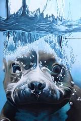 Onderwaterhond # 2 (just.Luc) Tags: hond dog chien hund graffiti grafitti streetart urbanart wall muur mauer mur bleu blauw blau azul blue blu mechelen malines vlaanderen flandres flanders belgië belgien belgique belgium belgica kunst art public publiek outside