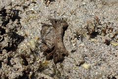 Pilumnus vespertilio Hairy Crab IMG0741 (Bill & Mark Bell) Tags: exmouth westernaustralia australia geo:town=exmouth geo:state=westernaustralia geo:country=australia geo:lon=11425453egeolat2217752sgeoalt8m 11425453e2217752salt8m taxonomy:kingdom=animalia animalia taxonomy:phylum=arthropoda arthropoda taxonomy:subphylum=crustacea crustacea taxonomy:class=malacostraca malacostraca taxonomy:order=decapoda decapoda taxonomy:infraorder=brachyura brachyura taxonomy:section=eubrachyura eubrachyura taxonomy:subsection=heterotremata heterotremata taxonomy:superfamily=pilumnoidea pilumnoidea taxonomy:family=pilumnidae pilumnidae taxonomy:genus=pilumnus pilumnus vespertilio taxonomybinomialnamepilumnusvespertilio pilumnusvespertilio taxonomycommonnamehairycrab hairycrab