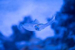 Cuttlefish. (LisaDiazPhotos) Tags: aquarium pacific lisadiazphotos cuttlefish