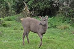 Sri Lankan Sambar deer, endemic to Sri Lanka.  Horton Plais, Sri Lanka. (falcon1801) Tags: horton srilanka sambar